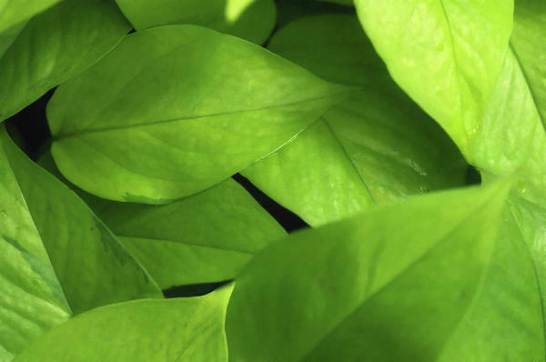 Wall Art - Photograph - Golden Pothos (epipremnum Pinnatum) by Maria Mosolova/science Photo Library
