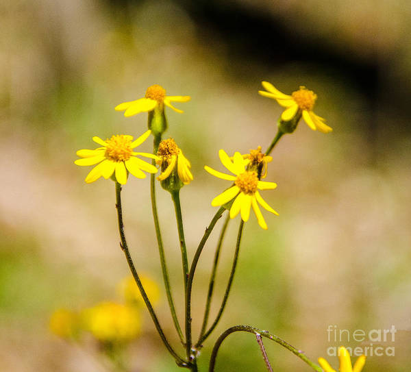 Rood Wall Art - Photograph - Golden Ragwort by Mary Carol Story