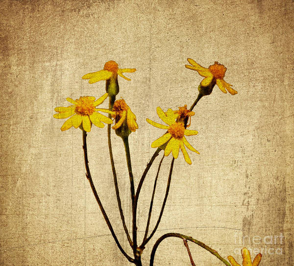 Rood Wall Art - Photograph - Golden Ragwort - Textured by Mary Carol Story