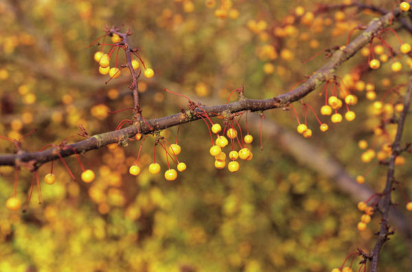 Golden Gardens Photograph - Golden Raindrops Tree Fruit by Anthony Cooper/science Photo Library