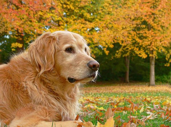 Jennie Photograph - Golden Retriever Dog Autumn Leaves by Jennie Marie Schell