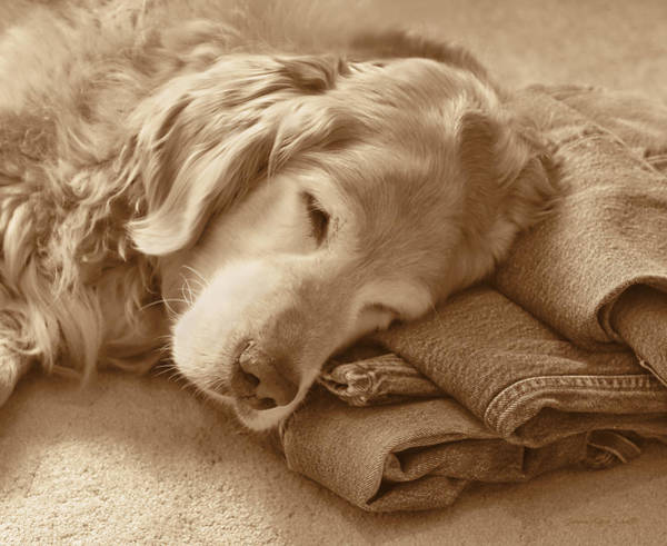 Wall Art - Photograph - Golden Retriever Dog On Forever On Blue Jeans Sepia by Jennie Marie Schell