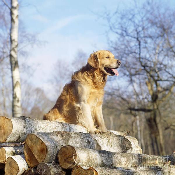 Photograph - Golden Retriever Dog On Logs by John Daniels