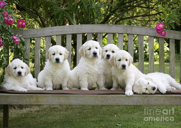 Photograph - Golden Retriever Puppies by John Daniels