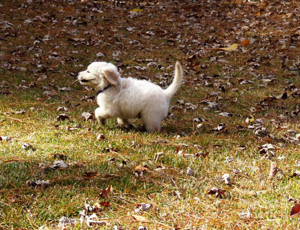 Photograph - Golden Retriever Puppy by Andrea Anderegg