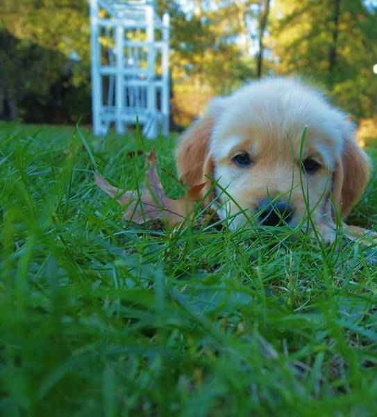 Dog Treat Photograph - Golden Retriever Puppy  by Dan Sproul