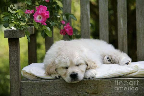Photograph - Golden Retriever Puppy Sleeping by John Daniels