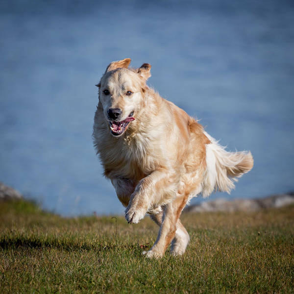 Pedigreed Photograph - Golden Retriever Running. Young Male by Animal Images