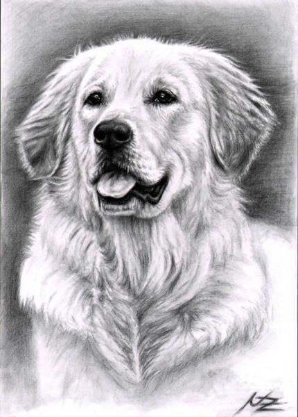 Hund Drawing - Golden Retriever Spence by Nicole Zeug