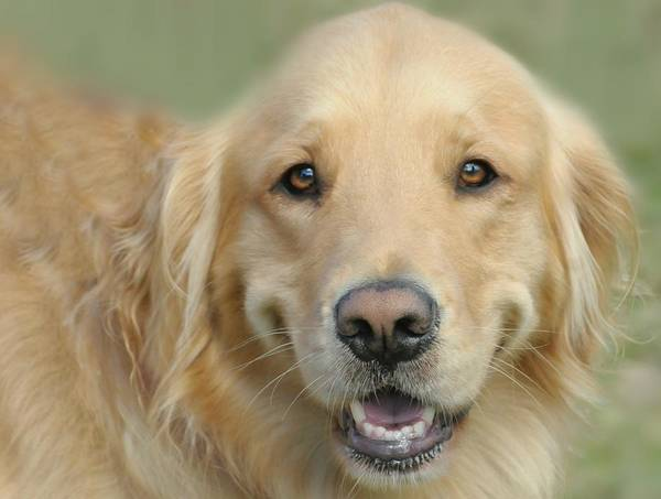 Breed Of Dog Photograph - Golden Retriever Standard by Diana Angstadt