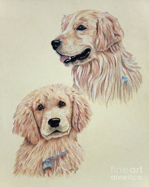 Furry Drawing - Golden Retriever by Terri Mills