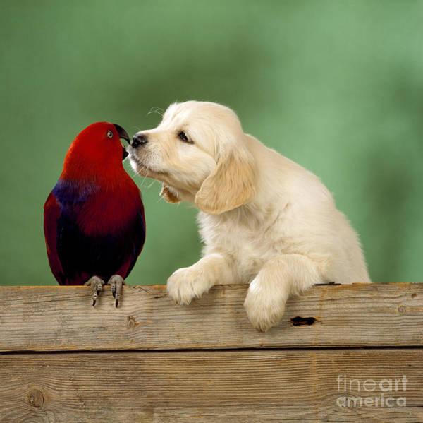 Eclectus Parrots Photograph - Golden Retriever With Grand Eclectus by John Daniels