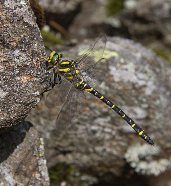 Haweswater Wall Art - Photograph - Golden-ringed Dragonfly by Kathryn Bell