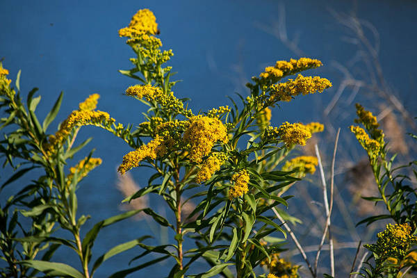 Photograph - Golden Rods At Northside Park by Bill Swartwout Photography