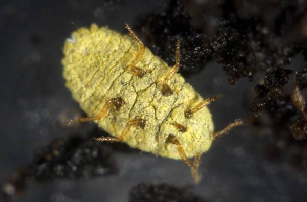 Wall Art - Photograph - Golden Root Mealybug by Nigel Cattlin