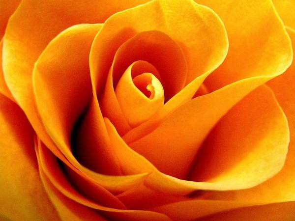 Barrett Photograph - Golden Rose by Rhonda Barrett