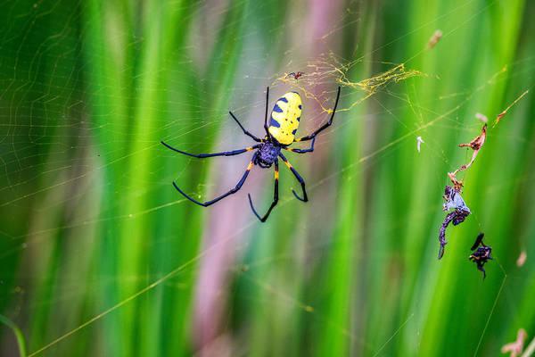 Golden Orb Spider Photograph - Golden Silk Orb Weaver, Congo by James Steinberg