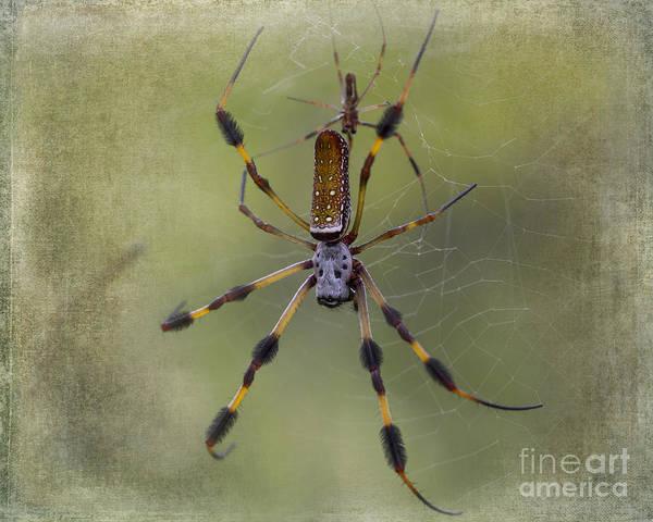 Golden Orb Spider Photograph - Golden Silk Orb-weaver by TN Fairey