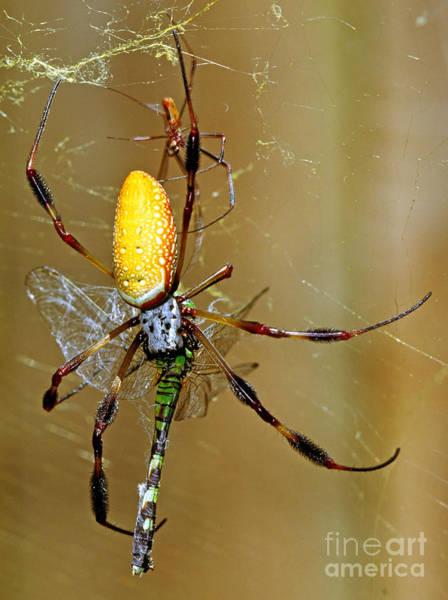 Golden Orb Spider Photograph - Golden Silk Spider With Dragonfly Prey by Millard H. Sharp