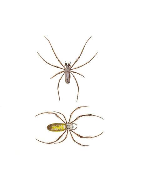 Golden Orb Spider Photograph - Golden Silk Spiders by Biodiversity Heritage Library