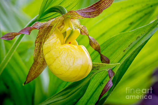 Photograph - Golden Slipper 1 by Susan Cole Kelly