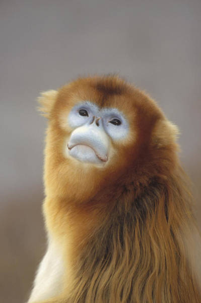 Ugly Photograph - Golden Snub-nosed Monkey  China by Konrad Wothe