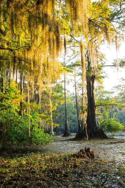 Wall Art - Photograph - Golden Spanish Moss by Ellie Teramoto