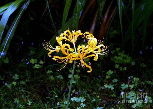 Hurricane Lily Photograph - Golden Spider Lily by Barbie Corbett-Newmin