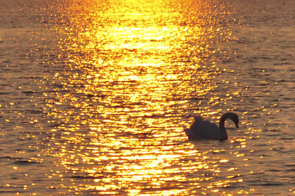 Photograph - Golden Swan by Terry DeLuco