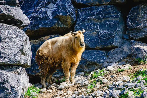 Goat Rocks Wilderness Wall Art - Photograph - Golden Takin by Pati Photography