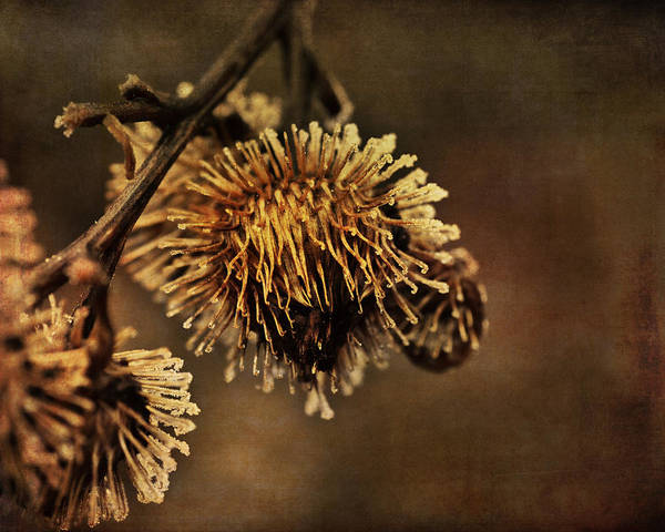 Susan Photograph - Golden Thistle by Susan Capuano