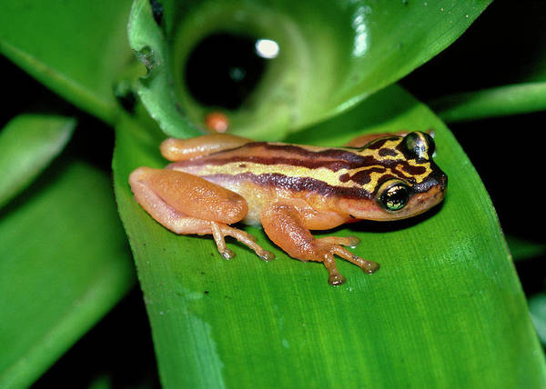 Wall Art - Photograph - Golden Tree Frog by Dr Morley Read/science Photo Library.