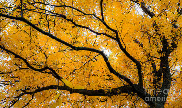 Photograph - Golden Tree by Michael Arend