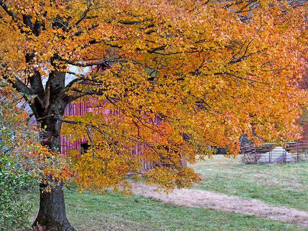 Photograph - Golden Tree On The Farm by Duane McCullough