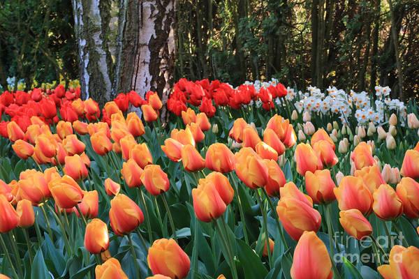 Photograph - Golden Tulip Day by Carol Groenen