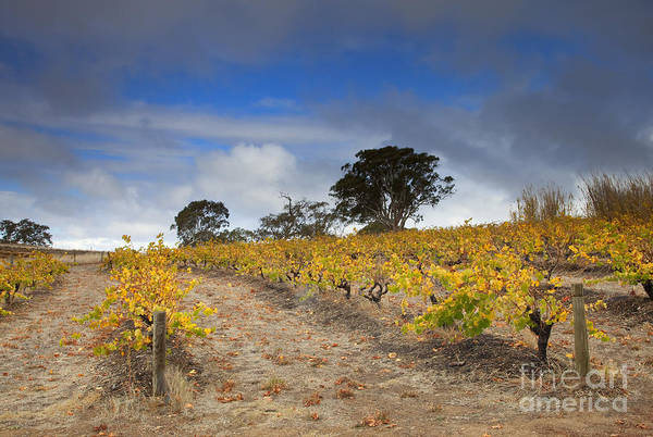 Grapevine Photograph - Golden Vines by Mike  Dawson