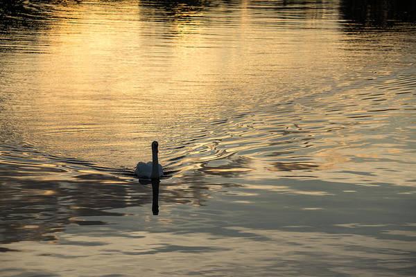 Photograph - Golden Watercolor Ripples - The Gliding Swan by Georgia Mizuleva