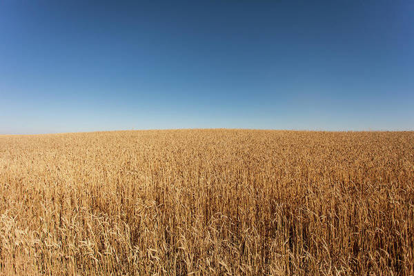 Canada Photograph - Golden Wheat Field And Blue Sky by Photographed By Dan Cronin-toronto Canada