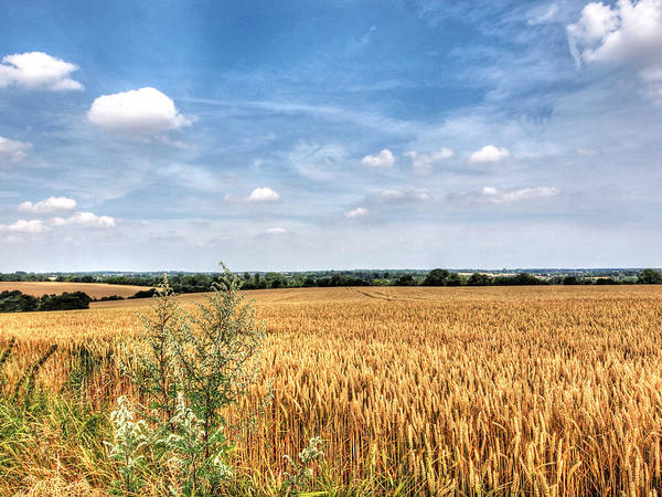 Photograph - Golden Wheat Fields by Gill Billington