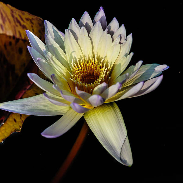 Photograph - Golden White Water Lily by Louis Dallara