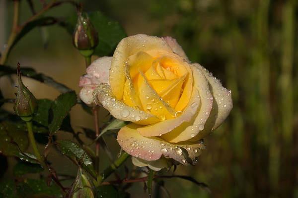 Photograph - Golden Yellow Sparkles - A Glowing Young Rose With Dewdrops by Georgia Mizuleva