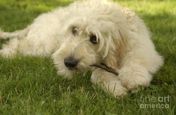 Fetch Photograph - Goldendoodle Pup With Stick by Anna Lisa Yoder