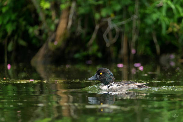 Drake Photograph - Goldeneye by Everet Regal