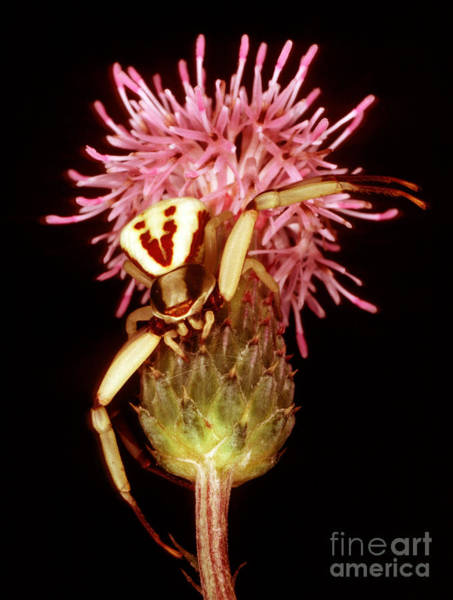 Duval County Photograph - Goldenrod Crab Spider by Millard H. Sharp