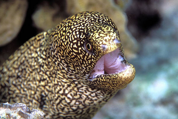 Wall Art - Photograph - Goldentail Moray Eel by Clay Coleman/science Photo Library