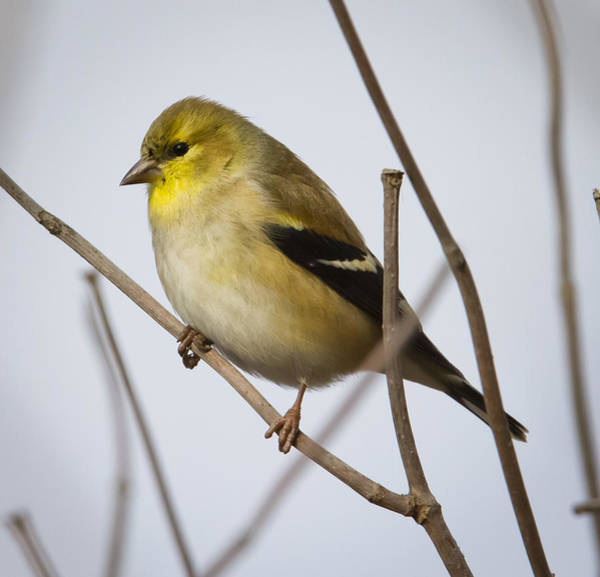 Photograph - Goldfinch In It's Winter Coat by Ricky L Jones