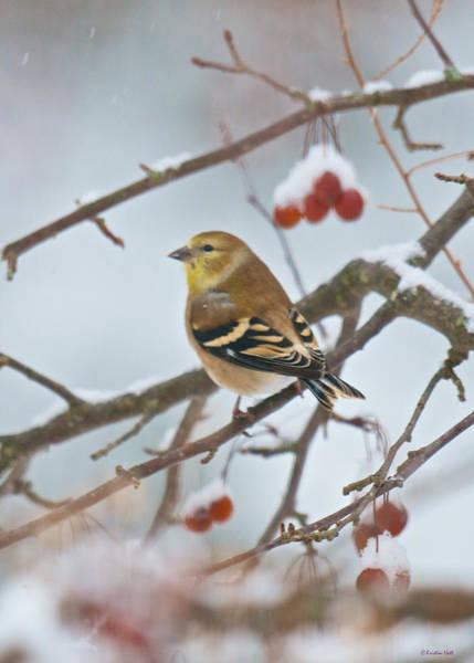 Goldfinch In Snow Art Print