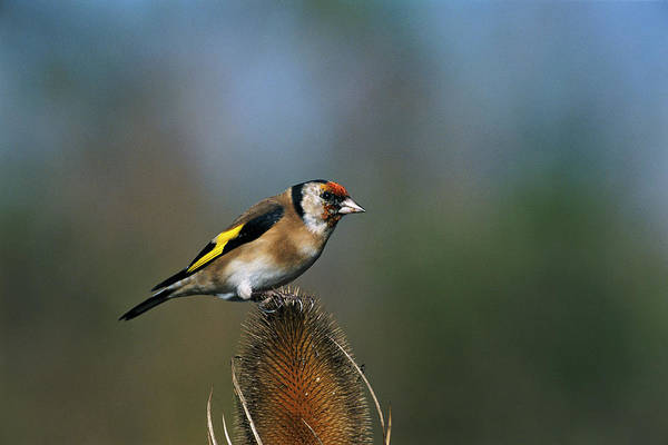 Goldfinch Photograph - Goldfinch by Leslie J Borg/science Photo Library