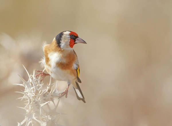 Songbird Photograph - Goldfinch - Profile by Shlomo Waldmann