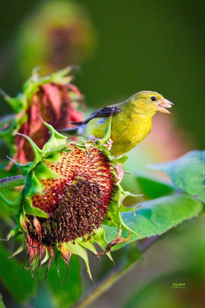 Photograph - Goldfinch With Sunflower 1 by Steven Llorca